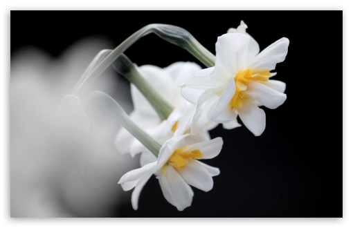 White Narcissus ❤ 4K UHD Wallpaper for Wide 16:10 5:3 Widescreen WHXGA WQXGA WUXGA WXGA WGA ; 4K UHD 16:9 Ultra High Definition 2160p 1440p 1080p 900p 720p ; UHD 16:9 2160p 1440p 1080p 900p 720p ; Standard 4:3 5:4 3:2 Fullscreen UXGA XGA SVGA QSXGA SXGA DVGA HVGA HQVGA ( Apple PowerBook G4 iPhone 4 3G 3GS iPod Touch ) ; Smartphone 5:3 WGA ; Tablet 1:1 ; iPad 1/2/Mini ; Mobile 4:3 5:3 3:2 16:9 5:4 - UXGA XGA SVGA WGA DVGA HVGA HQVGA ( Apple PowerBook G4 iPhone 4 3G 3GS iPod Touch ) 2160p 1440p 1080p 900p 720p QSXGA SXGA ;