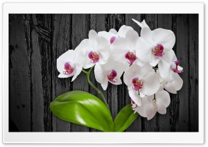 White Orchid Flower HD Wide Wallpaper for Widescreen