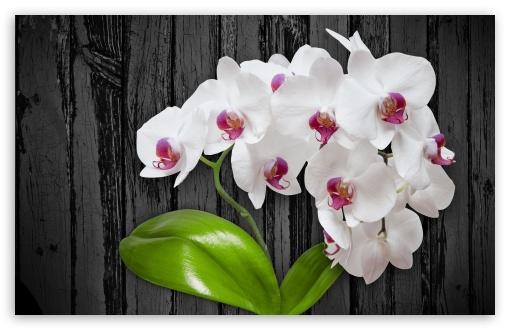 White Orchid Flower ❤ 4K UHD Wallpaper for Wide 16:10 5:3 Widescreen WHXGA WQXGA WUXGA WXGA WGA ; 4K UHD 16:9 Ultra High Definition 2160p 1440p 1080p 900p 720p ; UHD 16:9 2160p 1440p 1080p 900p 720p ; Standard 4:3 5:4 3:2 Fullscreen UXGA XGA SVGA QSXGA SXGA DVGA HVGA HQVGA ( Apple PowerBook G4 iPhone 4 3G 3GS iPod Touch ) ; Tablet 1:1 ; iPad 1/2/Mini ; Mobile 4:3 5:3 3:2 16:9 5:4 - UXGA XGA SVGA WGA DVGA HVGA HQVGA ( Apple PowerBook G4 iPhone 4 3G 3GS iPod Touch ) 2160p 1440p 1080p 900p 720p QSXGA SXGA ;