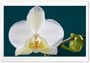 White Orchid Flower, Buds, Macro HD Wide Wallpaper for 4K UHD Widescreen desktop & smartphone