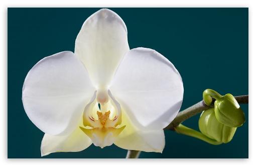 White Orchid Flower, Buds, Macro ❤ 4K UHD Wallpaper for Wide 16:10 5:3 Widescreen WHXGA WQXGA WUXGA WXGA WGA ; 4K UHD 16:9 Ultra High Definition 2160p 1440p 1080p 900p 720p ; UHD 16:9 2160p 1440p 1080p 900p 720p ; Standard 4:3 5:4 3:2 Fullscreen UXGA XGA SVGA QSXGA SXGA DVGA HVGA HQVGA ( Apple PowerBook G4 iPhone 4 3G 3GS iPod Touch ) ; iPad 1/2/Mini ; Mobile 4:3 5:3 3:2 16:9 5:4 - UXGA XGA SVGA WGA DVGA HVGA HQVGA ( Apple PowerBook G4 iPhone 4 3G 3GS iPod Touch ) 2160p 1440p 1080p 900p 720p QSXGA SXGA ;