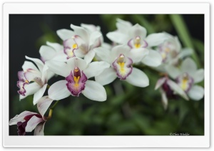 White Orchid Flowers HD Wide Wallpaper for Widescreen