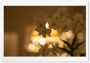 White Orchid Flowers Bokeh HD Wide Wallpaper for Widescreen