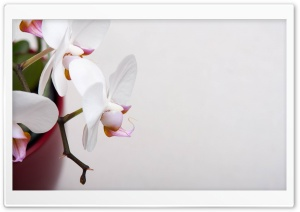 White Orchidee HD Wide Wallpaper for 4K UHD Widescreen desktop & smartphone