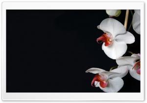 White Orchids Black HD Wide Wallpaper for Widescreen