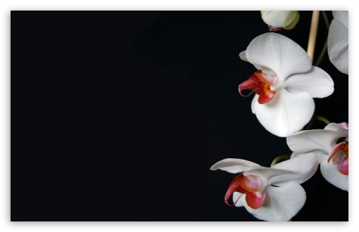 White Orchids Black HD wallpaper for Wide 16:10 5:3 Widescreen WHXGA WQXGA WUXGA WXGA WGA ; HD 16:9 High Definition WQHD QWXGA 1080p 900p 720p QHD nHD ; Standard 4:3 5:4 3:2 Fullscreen UXGA XGA SVGA QSXGA SXGA DVGA HVGA HQVGA devices ( Apple PowerBook G4 iPhone 4 3G 3GS iPod Touch ) ; Tablet 1:1 ; iPad 1/2/Mini ; Mobile 4:3 5:3 3:2 16:9 5:4 - UXGA XGA SVGA WGA DVGA HVGA HQVGA devices ( Apple PowerBook G4 iPhone 4 3G 3GS iPod Touch ) WQHD QWXGA 1080p 900p 720p QHD nHD QSXGA SXGA ;
