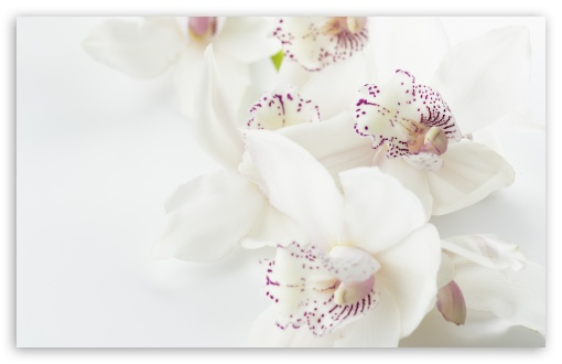 White Orchids Flowers Macro ❤ 4K UHD Wallpaper for Wide 16:10 5:3 Widescreen WHXGA WQXGA WUXGA WXGA WGA ; UltraWide 21:9 24:10 ; 4K UHD 16:9 Ultra High Definition 2160p 1440p 1080p 900p 720p ; UHD 16:9 2160p 1440p 1080p 900p 720p ; Standard 4:3 5:4 3:2 Fullscreen UXGA XGA SVGA QSXGA SXGA DVGA HVGA HQVGA ( Apple PowerBook G4 iPhone 4 3G 3GS iPod Touch ) ; Smartphone 16:9 3:2 5:3 2160p 1440p 1080p 900p 720p DVGA HVGA HQVGA ( Apple PowerBook G4 iPhone 4 3G 3GS iPod Touch ) WGA ; Tablet 1:1 ; iPad 1/2/Mini ; Mobile 4:3 5:3 3:2 16:9 5:4 - UXGA XGA SVGA WGA DVGA HVGA HQVGA ( Apple PowerBook G4 iPhone 4 3G 3GS iPod Touch ) 2160p 1440p 1080p 900p 720p QSXGA SXGA ; Dual 16:10 WHXGA WQXGA WUXGA WXGA ;