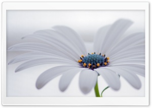 White Osteospermum Flower HD Wide Wallpaper for Widescreen