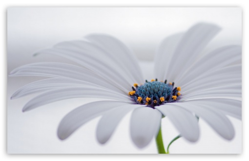 White Osteospermum Flower ❤ 4K UHD Wallpaper for Wide 16:10 5:3 Widescreen WHXGA WQXGA WUXGA WXGA WGA ; 4K UHD 16:9 Ultra High Definition 2160p 1440p 1080p 900p 720p ; Standard 4:3 5:4 3:2 Fullscreen UXGA XGA SVGA QSXGA SXGA DVGA HVGA HQVGA ( Apple PowerBook G4 iPhone 4 3G 3GS iPod Touch ) ; Smartphone 5:3 WGA ; Tablet 1:1 ; iPad 1/2/Mini ; Mobile 4:3 5:3 3:2 16:9 5:4 - UXGA XGA SVGA WGA DVGA HVGA HQVGA ( Apple PowerBook G4 iPhone 4 3G 3GS iPod Touch ) 2160p 1440p 1080p 900p 720p QSXGA SXGA ;