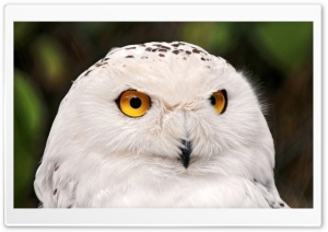 White Owl HD Wide Wallpaper for Widescreen