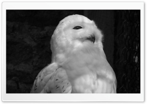 White Owl Black and White HD Wide Wallpaper for Widescreen