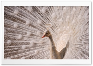 White Peacock HD Wide Wallpaper for Widescreen