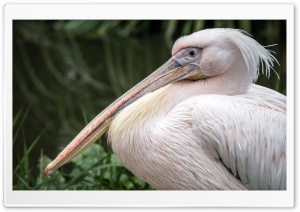 White Pelican Bird Close-up Ultra HD Wallpaper for 4K UHD Widescreen desktop, tablet & smartphone