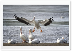 White Pelicans HD Wide Wallpaper for Widescreen