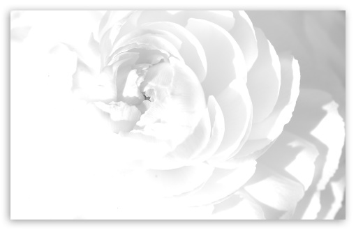 White Peony HD wallpaper for Wide 16:10 5:3 Widescreen WHXGA WQXGA WUXGA WXGA WGA ; HD 16:9 High Definition WQHD QWXGA 1080p 900p 720p QHD nHD ; Standard 4:3 5:4 3:2 Fullscreen UXGA XGA SVGA QSXGA SXGA DVGA HVGA HQVGA devices ( Apple PowerBook G4 iPhone 4 3G 3GS iPod Touch ) ; Tablet 1:1 ; iPad 1/2/Mini ; Mobile 4:3 5:3 3:2 16:9 5:4 - UXGA XGA SVGA WGA DVGA HVGA HQVGA devices ( Apple PowerBook G4 iPhone 4 3G 3GS iPod Touch ) WQHD QWXGA 1080p 900p 720p QHD nHD QSXGA SXGA ;