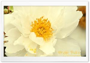 White Peony Flower Close-up HD Wide Wallpaper for 4K UHD Widescreen desktop & smartphone