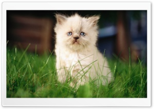 White Persian Kitten HD Wide Wallpaper for Widescreen