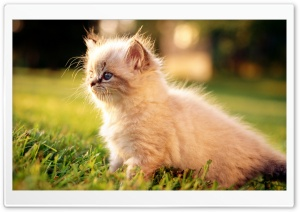 White Persian Kitten Outdoors HD Wide Wallpaper for Widescreen