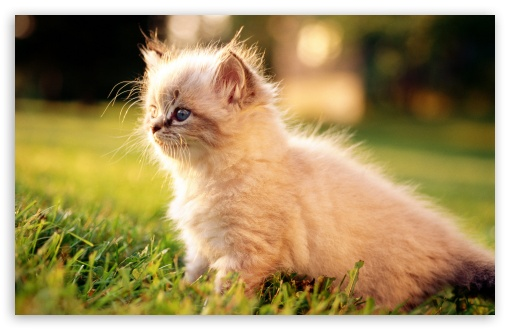 White Persian Kitten Outdoors ❤ 4K UHD Wallpaper for Wide 16:10 5:3 Widescreen WHXGA WQXGA WUXGA WXGA WGA ; 4K UHD 16:9 Ultra High Definition 2160p 1440p 1080p 900p 720p ; Standard 4:3 5:4 3:2 Fullscreen UXGA XGA SVGA QSXGA SXGA DVGA HVGA HQVGA ( Apple PowerBook G4 iPhone 4 3G 3GS iPod Touch ) ; Tablet 1:1 ; iPad 1/2/Mini ; Mobile 4:3 5:3 3:2 16:9 5:4 - UXGA XGA SVGA WGA DVGA HVGA HQVGA ( Apple PowerBook G4 iPhone 4 3G 3GS iPod Touch ) 2160p 1440p 1080p 900p 720p QSXGA SXGA ;
