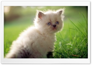 White Persian Kitten With Blue Eyes HD Wide Wallpaper for Widescreen
