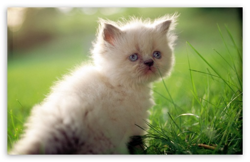 White Persian Kitten With Blue Eyes HD wallpaper for Wide 16:10 5:3 Widescreen WHXGA WQXGA WUXGA WXGA WGA ; HD 16:9 High Definition WQHD QWXGA 1080p 900p 720p QHD nHD ; Standard 4:3 5:4 3:2 Fullscreen UXGA XGA SVGA QSXGA SXGA DVGA HVGA HQVGA devices ( Apple PowerBook G4 iPhone 4 3G 3GS iPod Touch ) ; Tablet 1:1 ; iPad 1/2/Mini ; Mobile 4:3 5:3 3:2 16:9 5:4 - UXGA XGA SVGA WGA DVGA HVGA HQVGA devices ( Apple PowerBook G4 iPhone 4 3G 3GS iPod Touch ) WQHD QWXGA 1080p 900p 720p QHD nHD QSXGA SXGA ;
