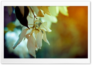 White Petals HD Wide Wallpaper for Widescreen