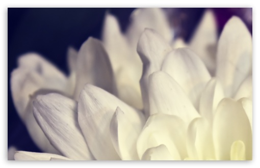 White Petals Macro HD wallpaper for Wide 16:10 5:3 Widescreen WHXGA WQXGA WUXGA WXGA WGA ; HD 16:9 High Definition WQHD QWXGA 1080p 900p 720p QHD nHD ; Standard 4:3 5:4 3:2 Fullscreen UXGA XGA SVGA QSXGA SXGA DVGA HVGA HQVGA devices ( Apple PowerBook G4 iPhone 4 3G 3GS iPod Touch ) ; iPad 1/2/Mini ; Mobile 4:3 5:3 3:2 16:9 5:4 - UXGA XGA SVGA WGA DVGA HVGA HQVGA devices ( Apple PowerBook G4 iPhone 4 3G 3GS iPod Touch ) WQHD QWXGA 1080p 900p 720p QHD nHD QSXGA SXGA ;
