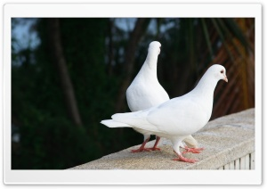 White Pigeons HD Wide Wallpaper for Widescreen