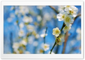 White Plum Blossom HD Wide Wallpaper for Widescreen