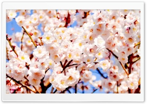 White Plum Blossoms HD Wide Wallpaper for Widescreen
