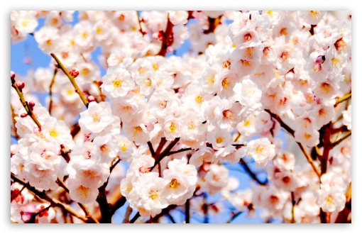 White Plum Blossoms ❤ 4K UHD Wallpaper for Wide 16:10 5:3 Widescreen WHXGA WQXGA WUXGA WXGA WGA ; 4K UHD 16:9 Ultra High Definition 2160p 1440p 1080p 900p 720p ; Standard 4:3 5:4 3:2 Fullscreen UXGA XGA SVGA QSXGA SXGA DVGA HVGA HQVGA ( Apple PowerBook G4 iPhone 4 3G 3GS iPod Touch ) ; Smartphone 5:3 WGA ; Tablet 1:1 ; iPad 1/2/Mini ; Mobile 4:3 5:3 3:2 16:9 5:4 - UXGA XGA SVGA WGA DVGA HVGA HQVGA ( Apple PowerBook G4 iPhone 4 3G 3GS iPod Touch ) 2160p 1440p 1080p 900p 720p QSXGA SXGA ; Dual 16:10 5:3 16:9 4:3 5:4 WHXGA WQXGA WUXGA WXGA WGA 2160p 1440p 1080p 900p 720p UXGA XGA SVGA QSXGA SXGA ;