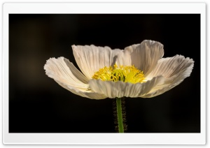White Poppy HD Wide Wallpaper for Widescreen