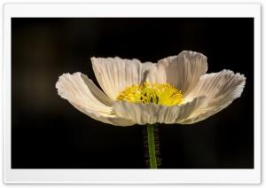 White Poppy Ultra HD Wallpaper for 4K UHD Widescreen desktop, tablet & smartphone