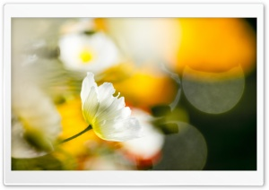 White Poppy Flowers Bokeh HD Wide Wallpaper for Widescreen