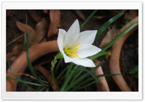 White Rain Lily 1 HD Wide Wallpaper for Widescreen