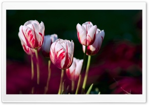 White Red Tulips HD Wide Wallpaper for Widescreen