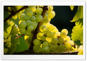 White Riesling Grapes Ready for Harvest HD Wide Wallpaper for 4K UHD Widescreen desktop & smartphone