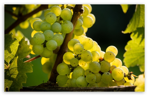 White Riesling Grapes Ready for Harvest ❤ 4K UHD Wallpaper for Wide 16:10 5:3 Widescreen WHXGA WQXGA WUXGA WXGA WGA ; UltraWide 21:9 ; 4K UHD 16:9 Ultra High Definition 2160p 1440p 1080p 900p 720p ; Standard 4:3 5:4 3:2 Fullscreen UXGA XGA SVGA QSXGA SXGA DVGA HVGA HQVGA ( Apple PowerBook G4 iPhone 4 3G 3GS iPod Touch ) ; Smartphone 16:9 3:2 5:3 2160p 1440p 1080p 900p 720p DVGA HVGA HQVGA ( Apple PowerBook G4 iPhone 4 3G 3GS iPod Touch ) WGA ; Tablet 1:1 ; iPad 1/2/Mini ; Mobile 4:3 5:3 3:2 16:9 5:4 - UXGA XGA SVGA WGA DVGA HVGA HQVGA ( Apple PowerBook G4 iPhone 4 3G 3GS iPod Touch ) 2160p 1440p 1080p 900p 720p QSXGA SXGA ;