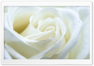 White Rose HD Wide Wallpaper for 4K UHD Widescreen desktop & smartphone