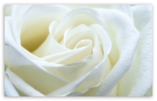 White Rose HD wallpaper for Wide 16:10 5:3 Widescreen WHXGA WQXGA WUXGA WXGA WGA ; HD 16:9 High Definition WQHD QWXGA 1080p 900p 720p QHD nHD ; Standard 4:3 5:4 3:2 Fullscreen UXGA XGA SVGA QSXGA SXGA DVGA HVGA HQVGA devices ( Apple PowerBook G4 iPhone 4 3G 3GS iPod Touch ) ; Smartphone 5:3 WGA ; Tablet 1:1 ; iPad 1/2/Mini ; Mobile 4:3 5:3 3:2 16:9 5:4 - UXGA XGA SVGA WGA DVGA HVGA HQVGA devices ( Apple PowerBook G4 iPhone 4 3G 3GS iPod Touch ) WQHD QWXGA 1080p 900p 720p QHD nHD QSXGA SXGA ;