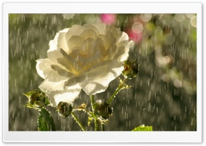 White Rose In Rain HD Wide Wallpaper for 4K UHD Widescreen desktop & smartphone