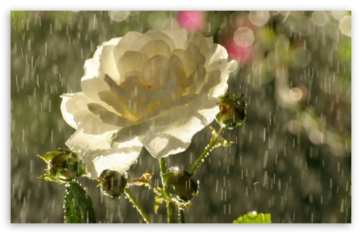 White Rose In Rain HD wallpaper for Wide 16:10 5:3 Widescreen WHXGA WQXGA WUXGA WXGA WGA ; HD 16:9 High Definition WQHD QWXGA 1080p 900p 720p QHD nHD ; Standard 4:3 5:4 3:2 Fullscreen UXGA XGA SVGA QSXGA SXGA DVGA HVGA HQVGA devices ( Apple PowerBook G4 iPhone 4 3G 3GS iPod Touch ) ; Tablet 1:1 ; iPad 1/2/Mini ; Mobile 4:3 5:3 3:2 16:9 5:4 - UXGA XGA SVGA WGA DVGA HVGA HQVGA devices ( Apple PowerBook G4 iPhone 4 3G 3GS iPod Touch ) WQHD QWXGA 1080p 900p 720p QHD nHD QSXGA SXGA ;