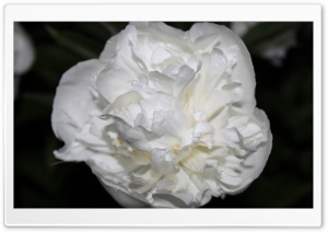 White Rose Just Like Silk HD Wide Wallpaper for Widescreen