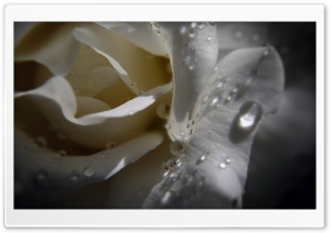 White Rose With Water Drops HD Wide Wallpaper for Widescreen