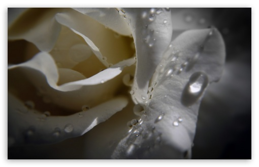 White Rose With Water Drops ❤ 4K UHD Wallpaper for Wide 16:10 5:3 Widescreen WHXGA WQXGA WUXGA WXGA WGA ; 4K UHD 16:9 Ultra High Definition 2160p 1440p 1080p 900p 720p ; Standard 4:3 5:4 3:2 Fullscreen UXGA XGA SVGA QSXGA SXGA DVGA HVGA HQVGA ( Apple PowerBook G4 iPhone 4 3G 3GS iPod Touch ) ; Tablet 1:1 ; iPad 1/2/Mini ; Mobile 4:3 5:3 3:2 16:9 5:4 - UXGA XGA SVGA WGA DVGA HVGA HQVGA ( Apple PowerBook G4 iPhone 4 3G 3GS iPod Touch ) 2160p 1440p 1080p 900p 720p QSXGA SXGA ;