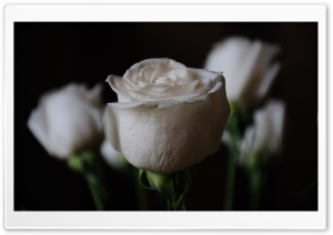 White Roses HD Wide Wallpaper for Widescreen