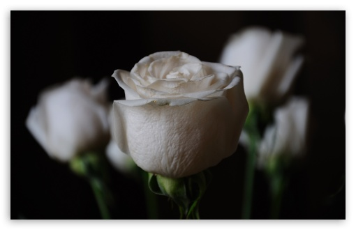 White Roses HD wallpaper for Wide 16:10 5:3 Widescreen WHXGA WQXGA WUXGA WXGA WGA ; HD 16:9 High Definition WQHD QWXGA 1080p 900p 720p QHD nHD ; UHD 16:9 WQHD QWXGA 1080p 900p 720p QHD nHD ; Standard 4:3 5:4 3:2 Fullscreen UXGA XGA SVGA QSXGA SXGA DVGA HVGA HQVGA devices ( Apple PowerBook G4 iPhone 4 3G 3GS iPod Touch ) ; Tablet 1:1 ; iPad 1/2/Mini ; Mobile 4:3 5:3 3:2 16:9 5:4 - UXGA XGA SVGA WGA DVGA HVGA HQVGA devices ( Apple PowerBook G4 iPhone 4 3G 3GS iPod Touch ) WQHD QWXGA 1080p 900p 720p QHD nHD QSXGA SXGA ;