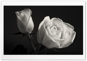 White Roses Black Background HD Wide Wallpaper for 4K UHD Widescreen desktop & smartphone
