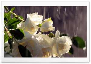 White Roses In The Rain HD Wide Wallpaper for Widescreen