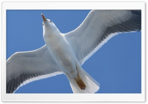 White Seagull HD Wide Wallpaper for Widescreen